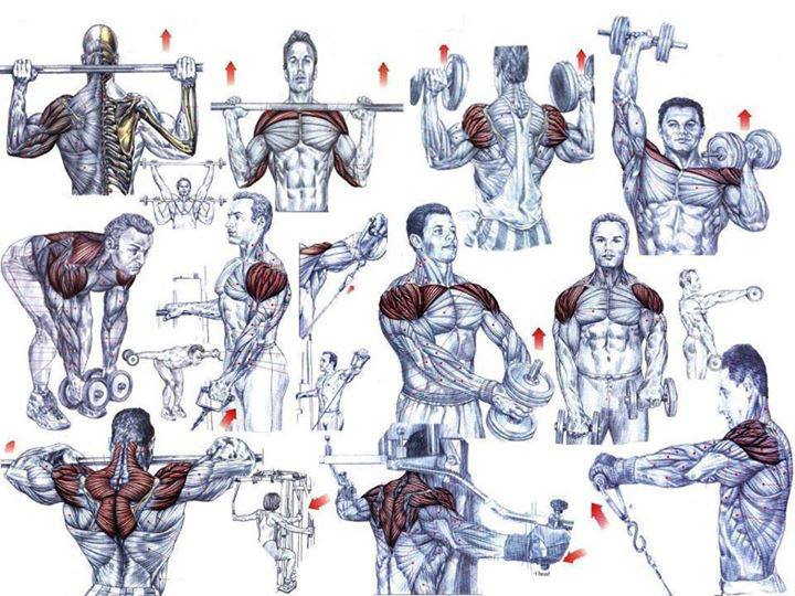 bodybuilding chest exercises chart: Shoulder exercises for beginning bodybuilders project next