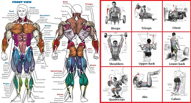 A List Of Top Weight Training Exercises For Each Muscle Group ...
